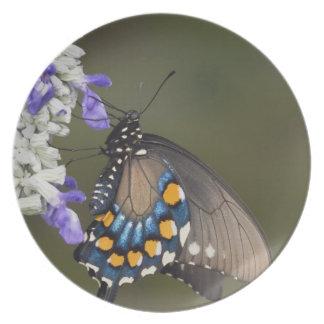 Pipevine Swallowtail, Battus philenor, adult Plate