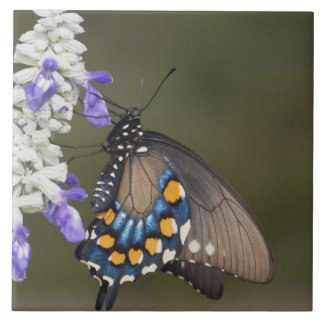 Pipevine Swallowtail, Battus philenor, adult Tile