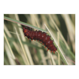 Pipevine Swallowtail Butterfly Caterpillar Poster