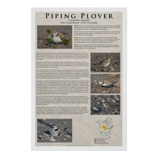 Piping Plover 01 Posters