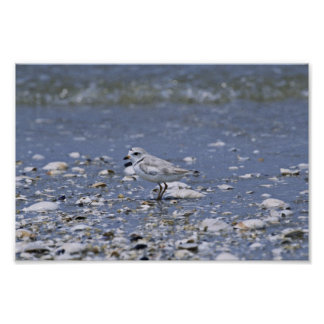 Piping plover print