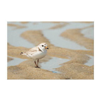 Piping Plover Stretched Canvas Print
