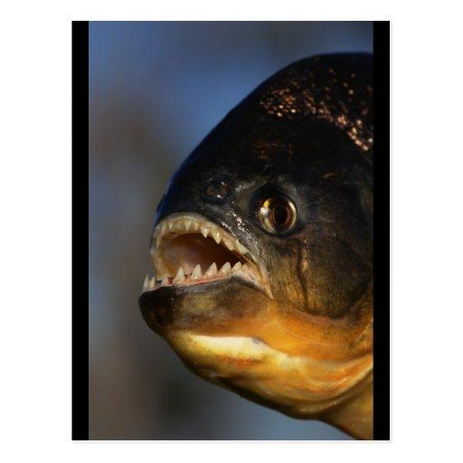Piranha Close-Up Postcards