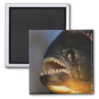 Piranha Close-Up Square Magnet