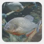 Piranha fish swimming colour photograph
