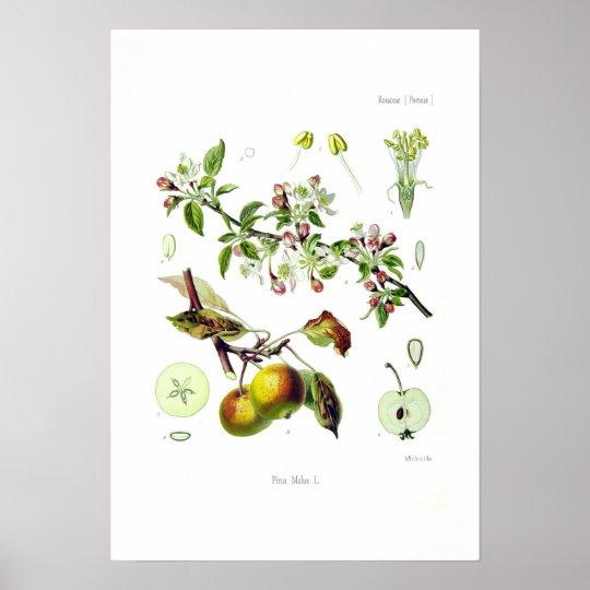 Pirus malus (Malus domestica) Poster