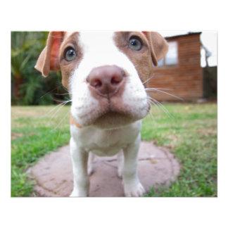 pit bull dog brown nose close 11.5 cm x 14 cm flyer