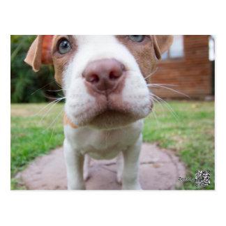 pit bull dog brown nose close postcard