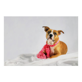 Pit Bull Puppy Love in Pink XOXO Poster