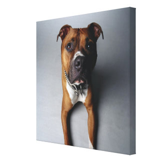 Pit Bull Terrier Lying Down Gallery Wrapped Canvas