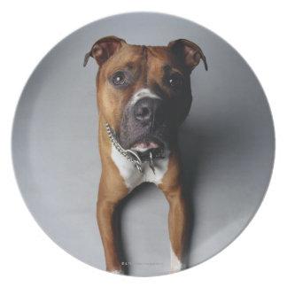Pit Bull Terrier Lying Down Plate