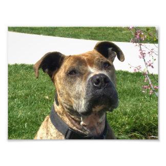 Pitbull dog photograph