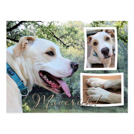 Pitbull - Maverick Composite Post Card