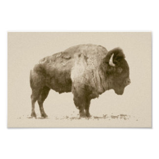 Plains Bison Photo Print