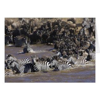 Plains Zebra (Equus quagga) and Blue Wildebeest Card