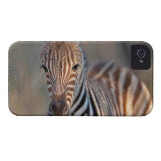 Plains zebra (Equus quagga) foal, Mkhuze Game iPhone 4 Cover