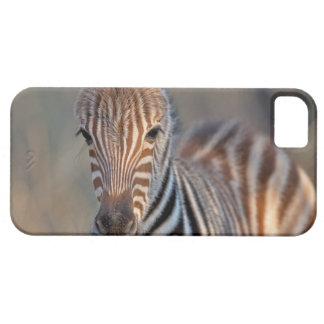 Plains zebra (Equus quagga) foal, Mkhuze Game iPhone 5 Cover