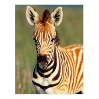 Plains Zebra (Equus Quagga) Foal Portrait Postcard