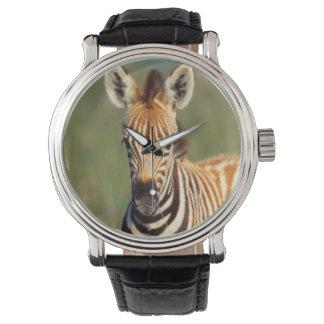 Plains Zebra (Equus Quagga) Foal Portrait Wrist Watches