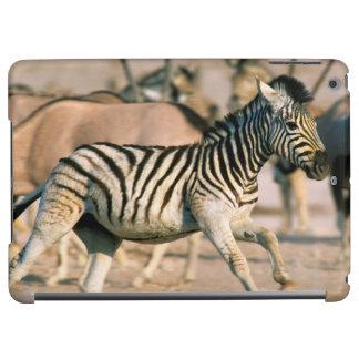 Plains Zebra (Equus Quagga) Foal Startled