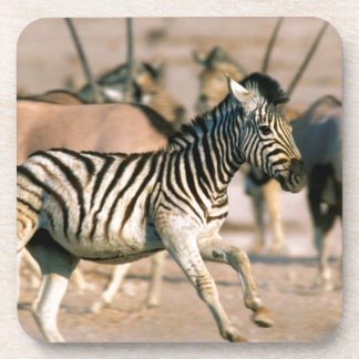 Plains Zebra (Equus Quagga) Foal Startled Coaster