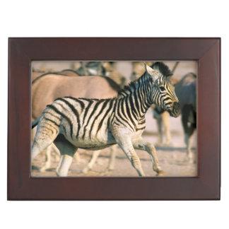 Plains Zebra (Equus Quagga) Foal Startled Keepsake Box