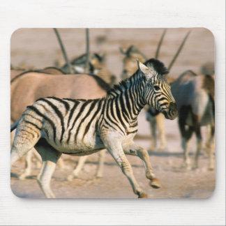 Plains Zebra (Equus Quagga) Foal Startled Mouse Mat