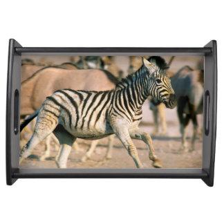 Plains Zebra (Equus Quagga) Foal Startled Serving Tray
