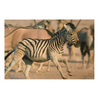 Plains Zebra (Equus Quagga) Foal Startled Wood Print