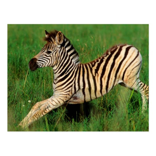Plains Zebra (Equus Quagga) Foal Stretching Postcard