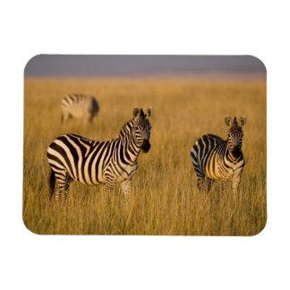 Plains Zebra (Equus quagga) in grass, Masai Mara Magnet