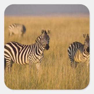 Plains Zebra (Equus quagga) in grass, Masai Mara Square Sticker