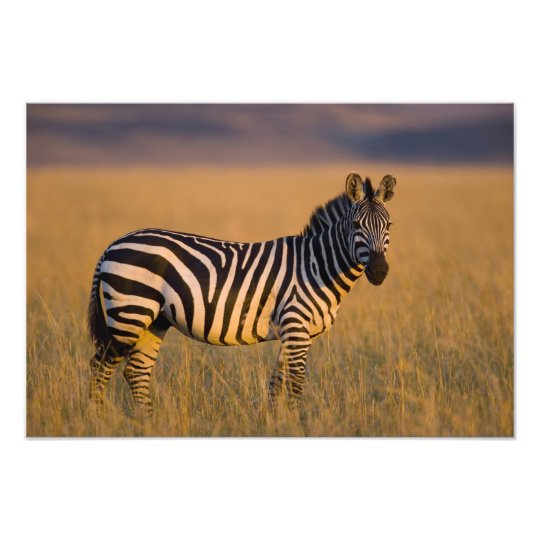 Plains Zebra Equus quagga) in grass, Masai Photo