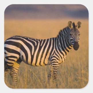 Plains Zebra Equus quagga) in grass, Masai Square Sticker