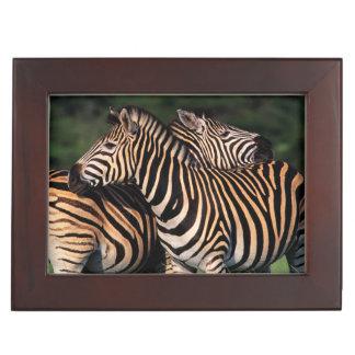 Plains Zebra (Equus Quagga) Pair Bonding, Tala Keepsake Box