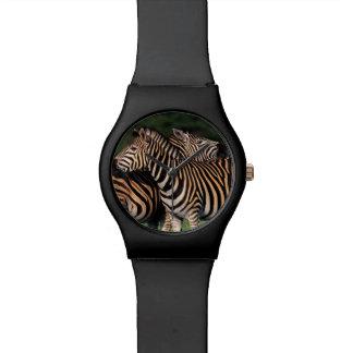 Plains Zebra (Equus Quagga) Pair Bonding, Tala Watch
