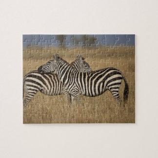 Plains Zebra (Equus quagga) pair grooming, Masai Jigsaw Puzzle