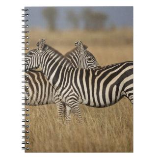 Plains Zebra (Equus quagga) pair grooming, Masai Notebook