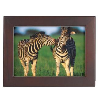 Plains Zebra (Equus Quagga) Pair Grooming, Tala Keepsake Box