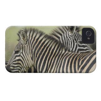 Plains Zebra (Equus quagga) pair, Haga Game 2 iPhone 4 Case-Mate Cases