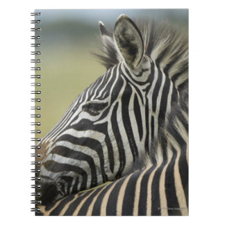 Plains Zebra (Equus quagga) pair, Haga Game Notebook