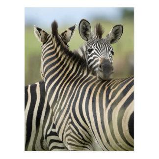Plains Zebra Equus quagga pair Haga Game Post Cards
