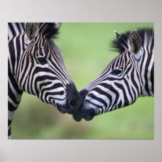 Plains zebra Equus quagga pair interacting Print