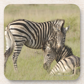 Plains Zebra (Equus quagga) pair resting on Coaster