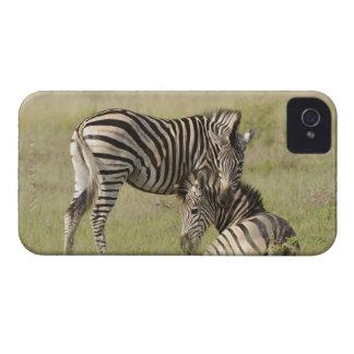 Plains Zebra (Equus quagga) pair resting on iPhone 4 Case-Mate Cases