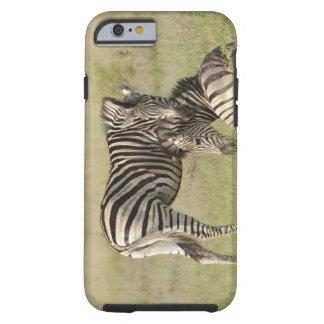 Plains Zebra (Equus quagga) pair resting on Tough iPhone 6 Case