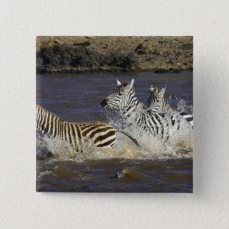 Plains Zebra (Equus quagga) running in water, 15 Cm Square Badge