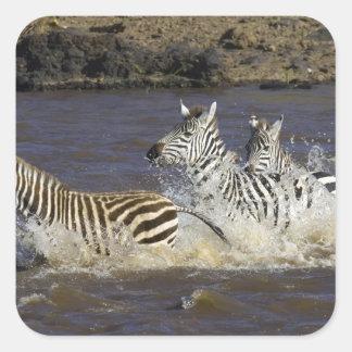 Plains Zebra (Equus quagga) running in water, Square Sticker