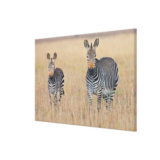 Plains zebra (Equus quagga) with foal Canvas Print