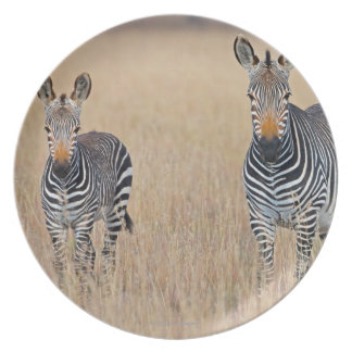 Plains zebra (Equus quagga) with foal in Plate